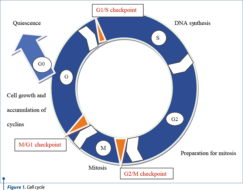 Figure 1. Cell cycle