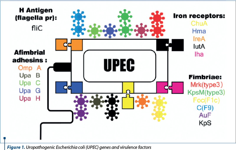 Figure 1. Uropatho­ge­nic Escherichia coli (UPEC) genes and virulence factors