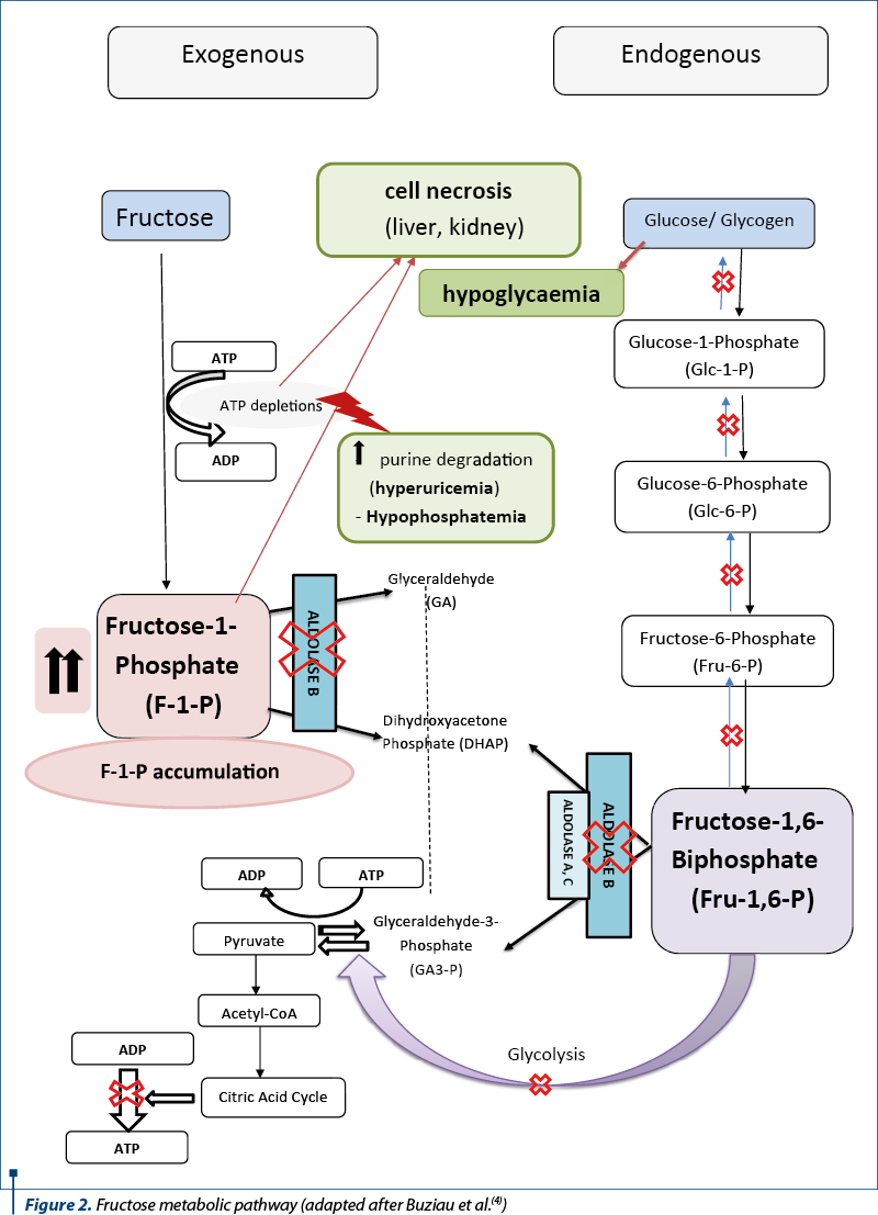 Figure 2. Fructose metabolic pathway (adapted after Buziau et al.(4))